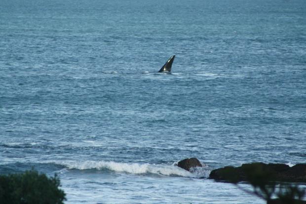 Whale fin so close to shore