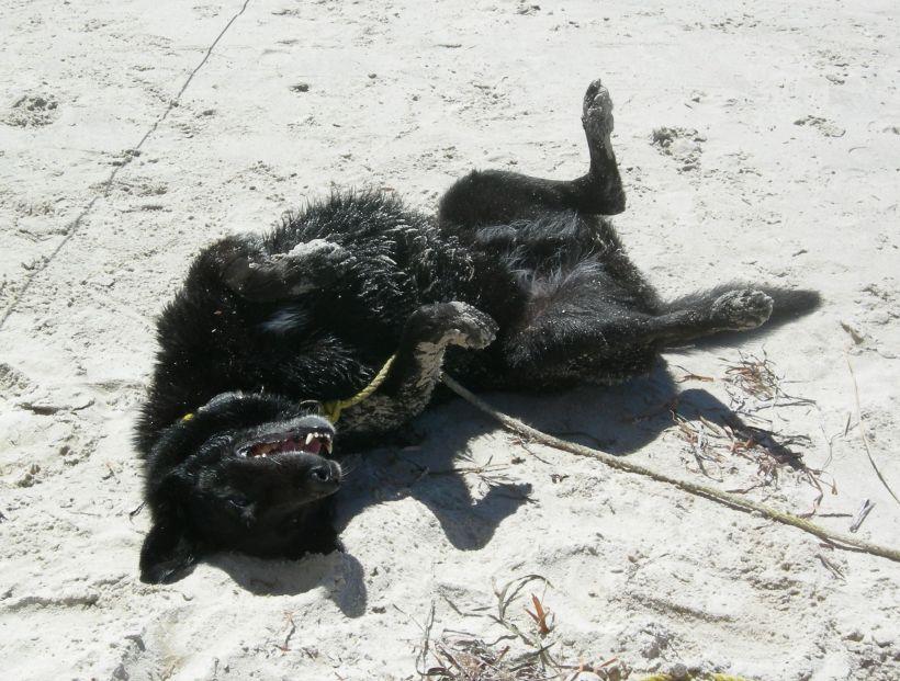 Beach dog Jack Kelpie