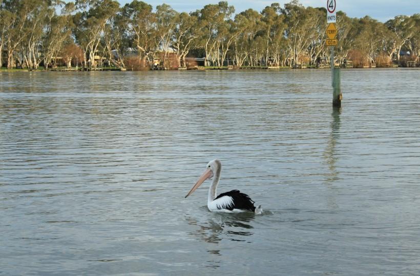 Pelican at Mannum SA