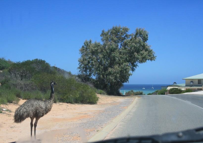 emu at Denham