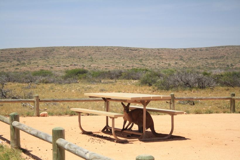 kangaroo hiding under table