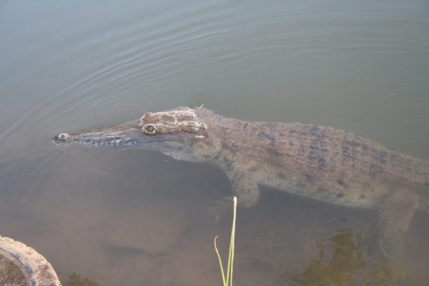 croc in the water