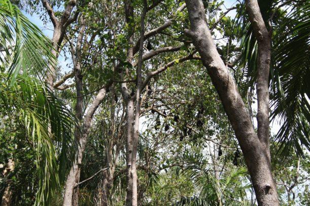 fruit bats Darwin