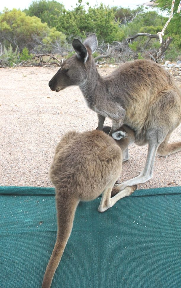 Lucky Bay roo and joey