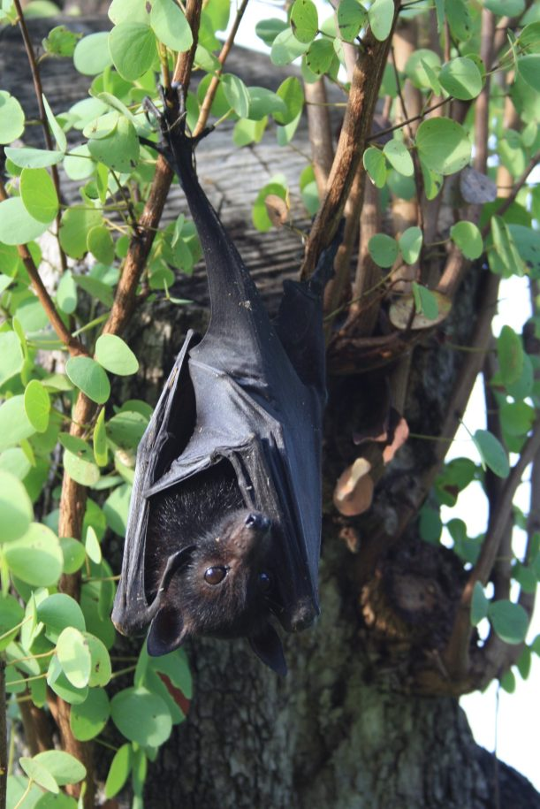 fruit bat in daylight