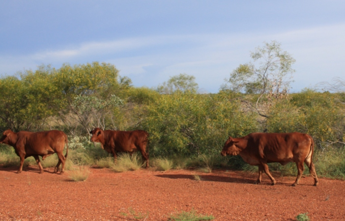 roaming cattle Australia