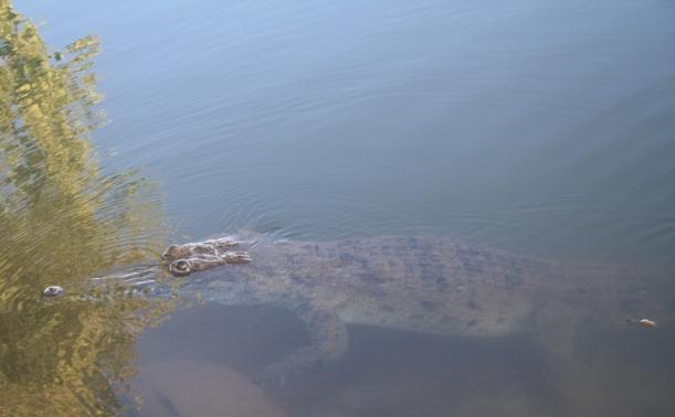 George the freshwater croc