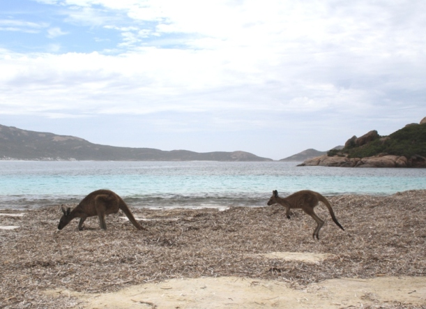 Lucky Bay kangaroos