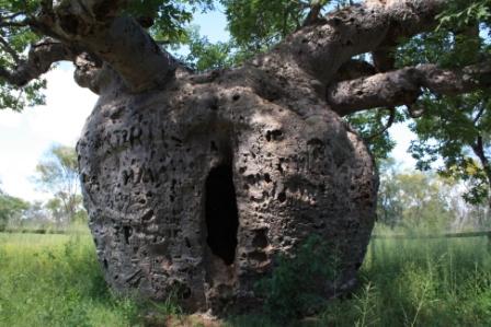 boab tree Derby