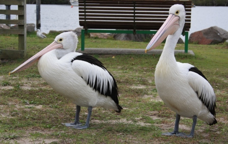 pelicans Tea Gardens