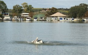 pelican on Murray River