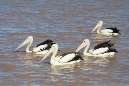pelicans Kalbarri WA