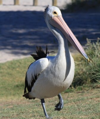 pelican Kalbarri WA