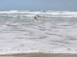 seagull with cockle