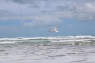 seagull Goolwa Beach