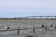 Goolwa pelicans