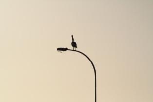 Pelican roosting