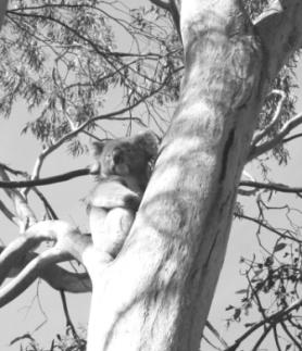 koala visitor