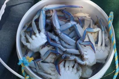 Blue swimmer crabs