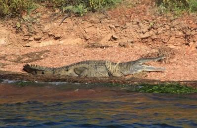 Australian crocodile