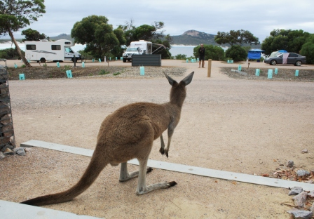 Lucky Bay kangaroo