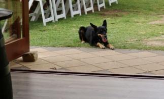 winery dog Ruby