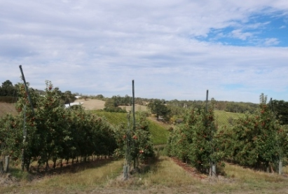 Lenswood apple orchards