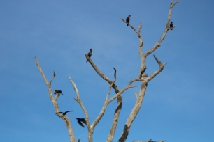 shags on a dead tree
