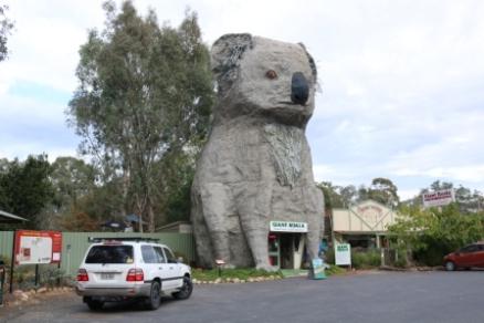 big koala