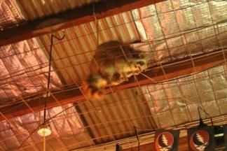 Raccoon Club