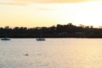 Spencer Gulf dolphin