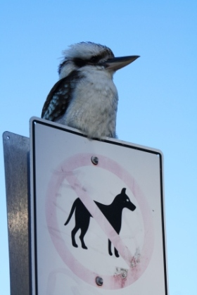 No dogs, only kookaburras