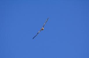Eagle in central Australia