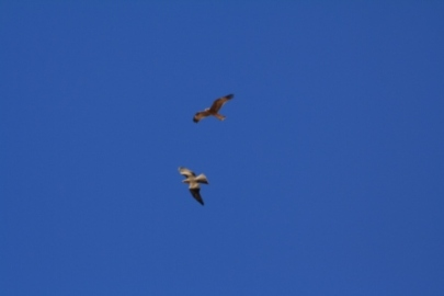 eagle pair in central Australia