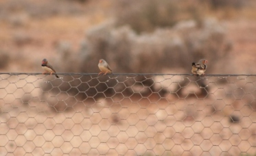 finches in the outback