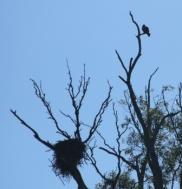 bird of prey and nest