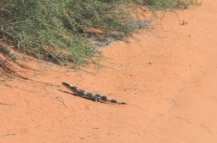 Aussie Lizard