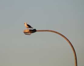 seagull on light pole