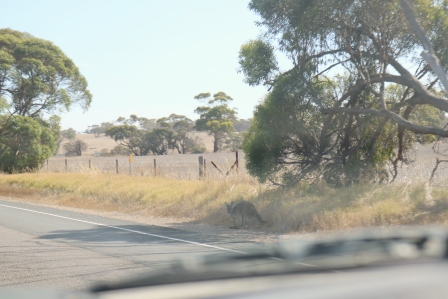 roo on the roadside