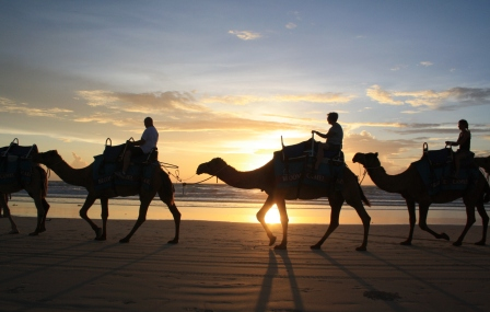 Broome camels at sunset
