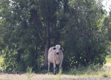 cow in the shade
