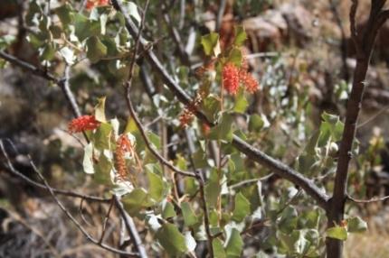 Australian plants