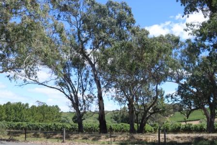Adelaide Hills vineyards