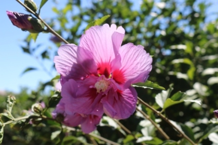 native hibiscus