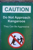 Kangaroos with attitude