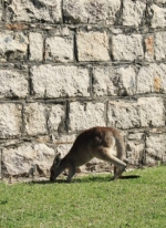 Kangaroo in Trial Bay Gaol