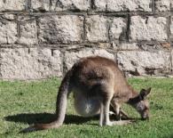 Kangaroos in Trial Bay Gaol