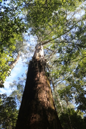 Maits Rest rainforest walk