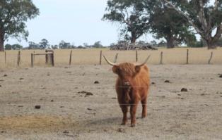 Coonawarra cow