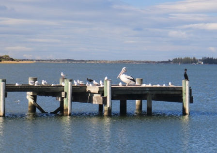 pelican at Goolwa